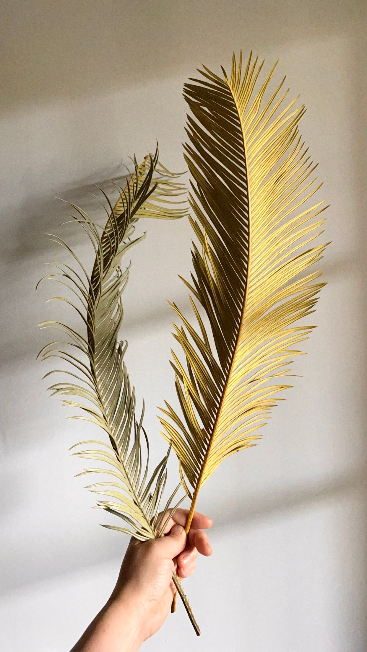 Dried Sago palm(2 stems)