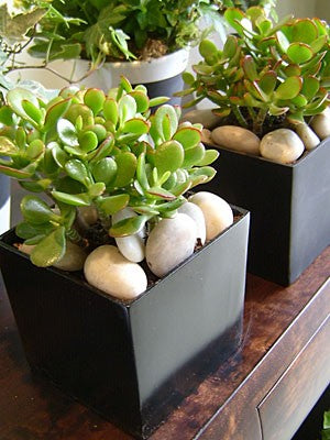 shop.balconi.ca Eco Plants Jade Garden