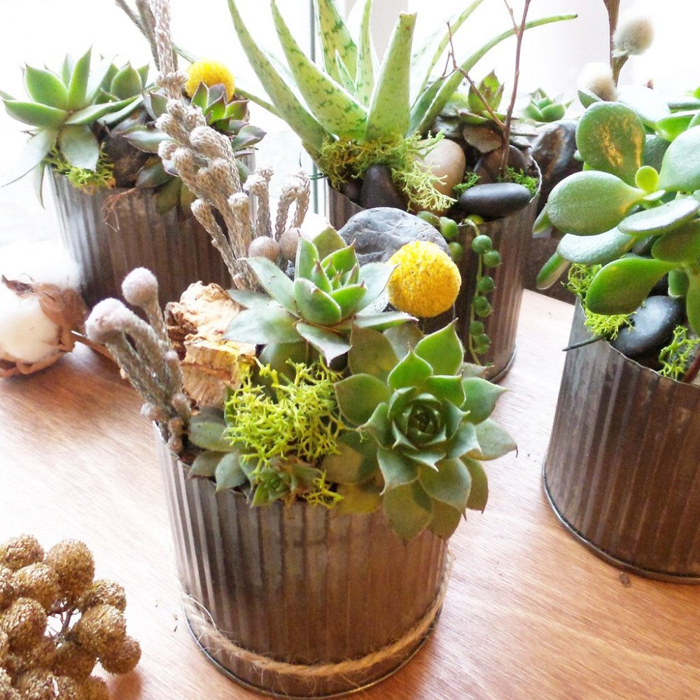 shop.balconi.ca Eco Plants Succulent Lost in the forest