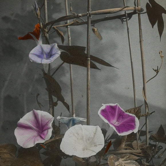 Japanese Morning Glories, 1898-1929
