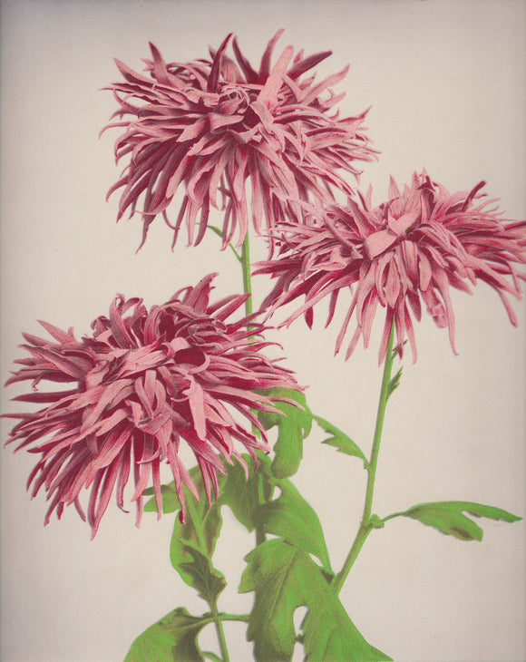 Ogawa Kazumasa, Chrysanthemum from 'Some Japanese Flowers'