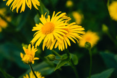 arnica is an active ingredient in cbd for pain relief