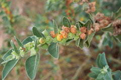 Ashwagandha is an active ingredient in cbd produced by Medsana
