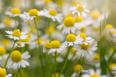 chamomile extract is an active ingredient in cbd