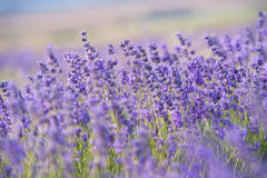lavender is an active ingredient in cbd
