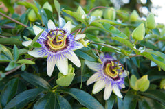 passionflower is an active ingredient in cbd