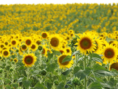 sunflower seed oil is an active ingredient in cbd