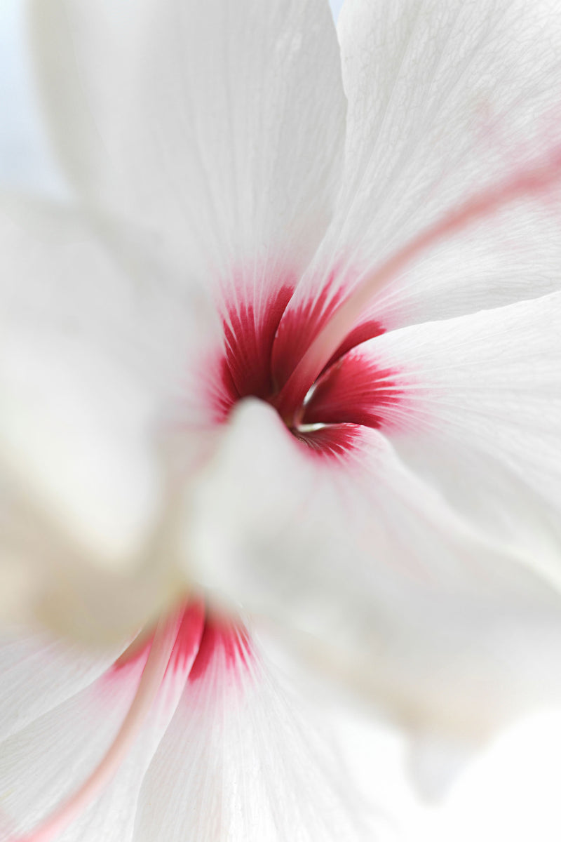 close up of hibiscus flower