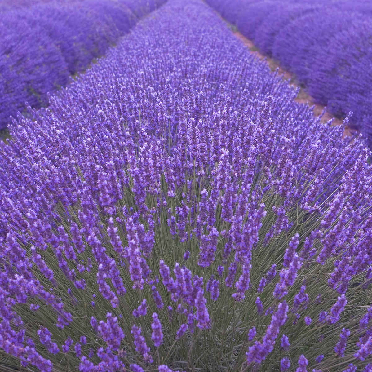 close up of lavender field