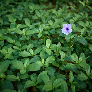 close up of purple flower among blanket of green leaves