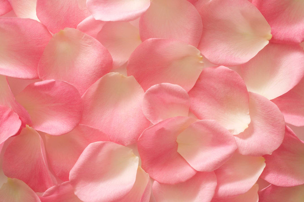close up of pink and white rose petals