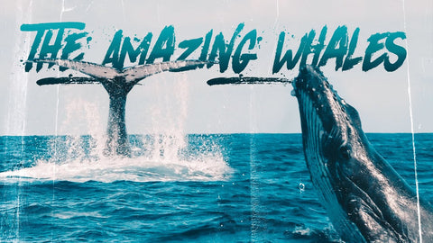 Swimming With Humpback  Whales!