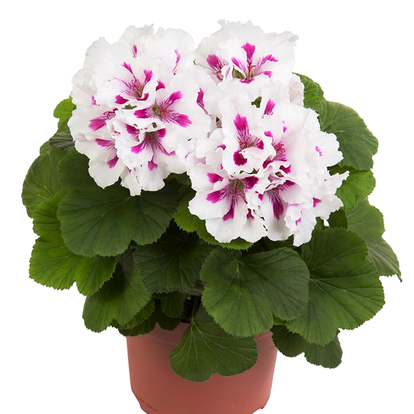 Pelargonium white Flower Seeds