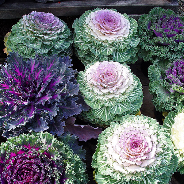 Ornamental Kale Brassica Oleracea Flower Seeds