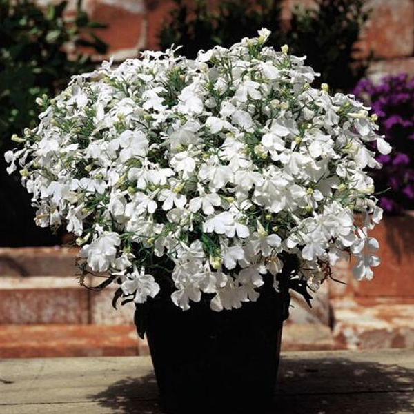 White Lobelia Flower Seeds