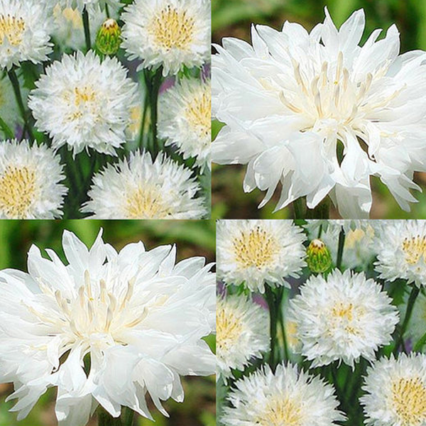 White Centaurea Cyanus Flower Seeds