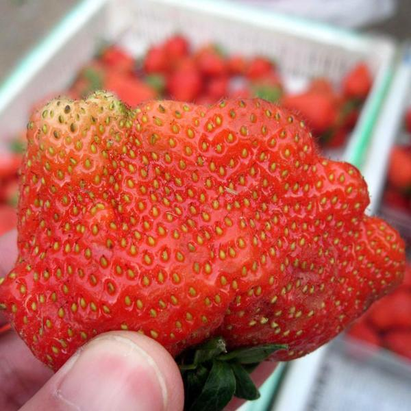 Super Giant Strawberry Fruit Seeds