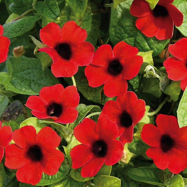 Red Thunbergia Alata Flower Seeds