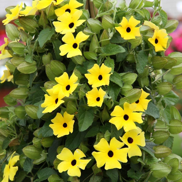 Yellow Thunbergia Flower Seeds