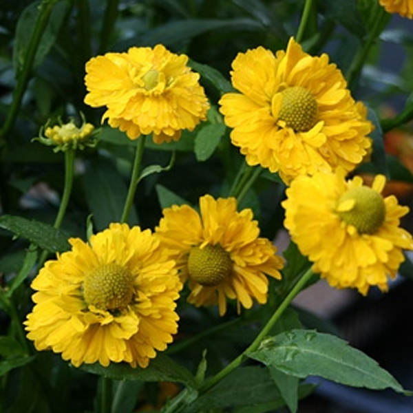 Yellow Helenium Sneezeweed Flower Seeds