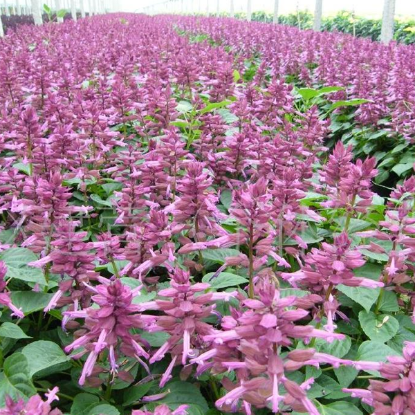 Salvia Splendens Ornamental Flower Seeds