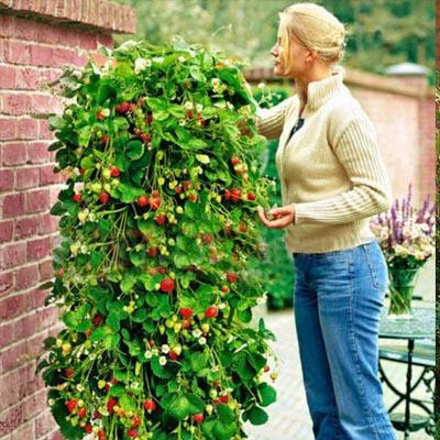 Climbing Strawberry Tree Seeds