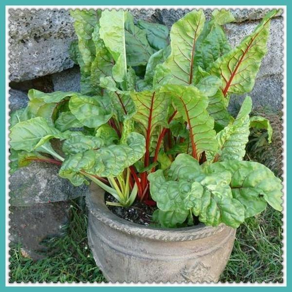 Swiss chard seeds High germination rate of high value C123
