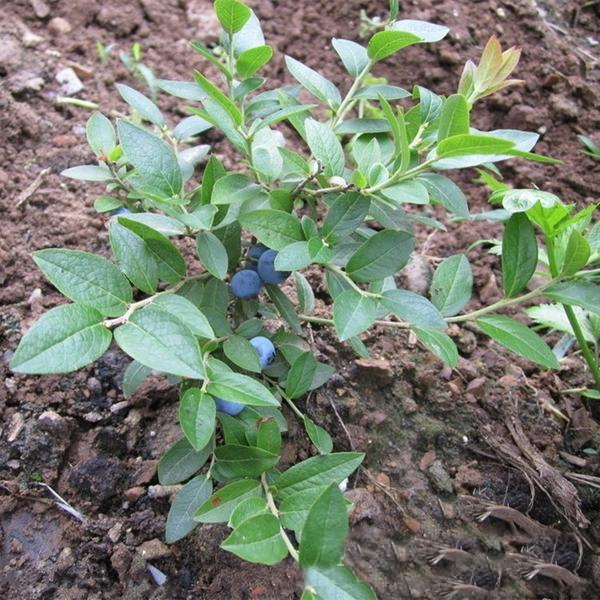 Nutritional Blueberry Quality Seeds