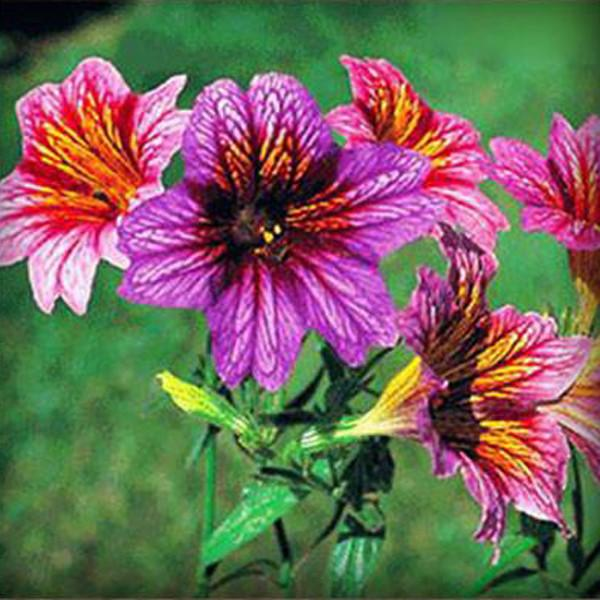 Salpiglossis Seeds Chile Morning Glory Seeds Balcony Potted Plants Ipomoea Nil Flowers for Rooms 7