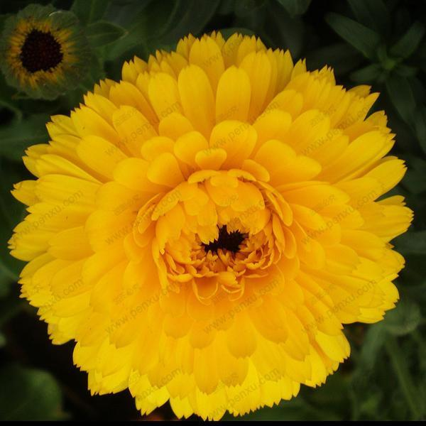 Marigold Calendula Officinalis Seeds