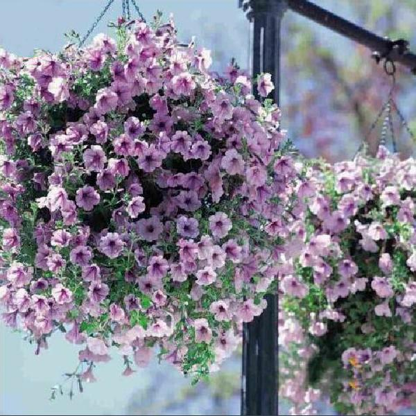 Bonsai Petunia Flower Seeds