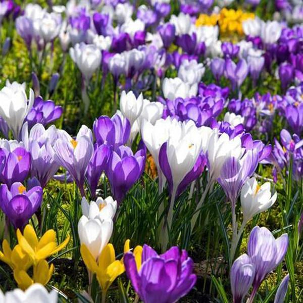 Crocus Sativus Flower Seeds