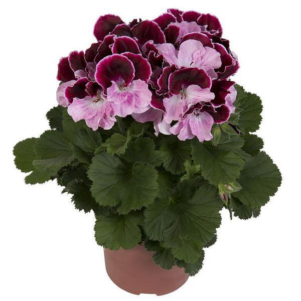 100PCS/Bag Multiple Colour Geranium Seeds, Perennial Flower Seeds Pelargonium ,Indoor Plants Beautiful Flower Seeds 15