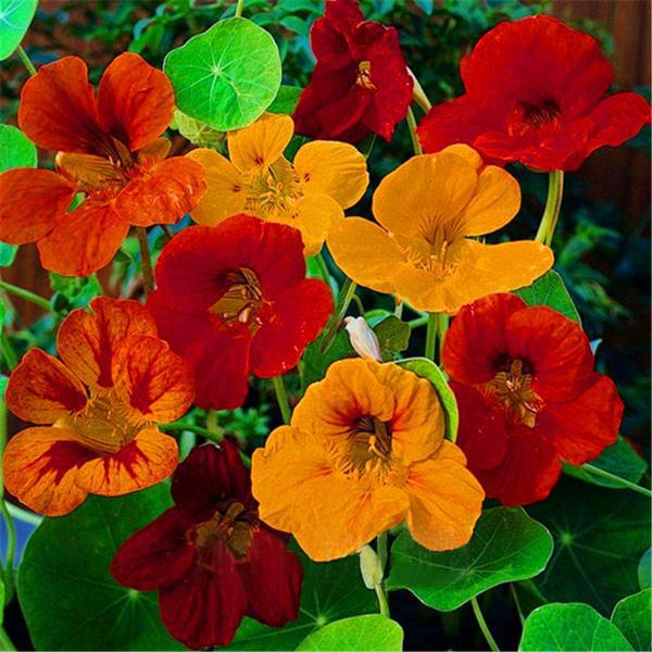 100seeds/Bag Fresh Tropaeolum majus Nasturtium Seeds Easy Planting flower semillas,#4T45R2 Purple