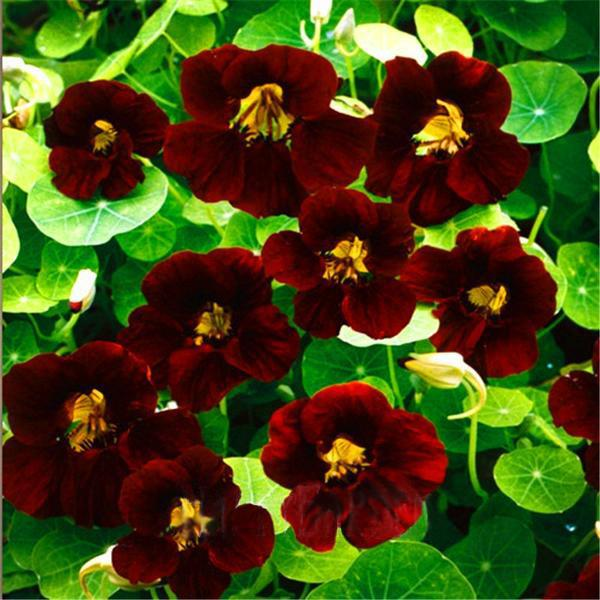 100seeds/Bag Fresh Tropaeolum majus Nasturtium Seeds Easy Planting flower semillas,#4T45R2 Black