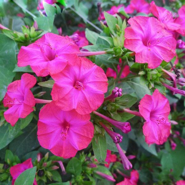 Rare Pink Jasmine Seeds Fragrant Plant Mirabilis Jasmine Seeds Bonsai Potted Plants for Home Garden 20 seeds/pack