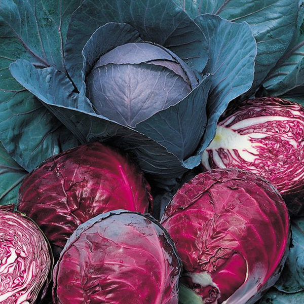 Red Cabbage Chicory Seeds