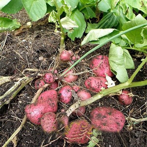 Red Skin Potato Seeds