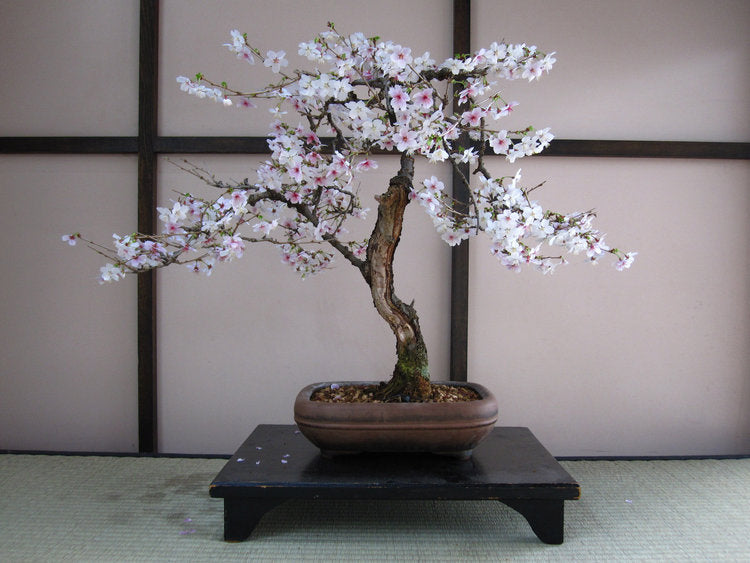 Japanese flowering cherry bonsai grow kit.