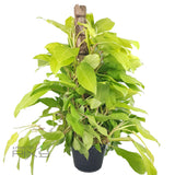 PHILODENDRON ... MALAY GOLD MOSSTICK POT24 | H100CM