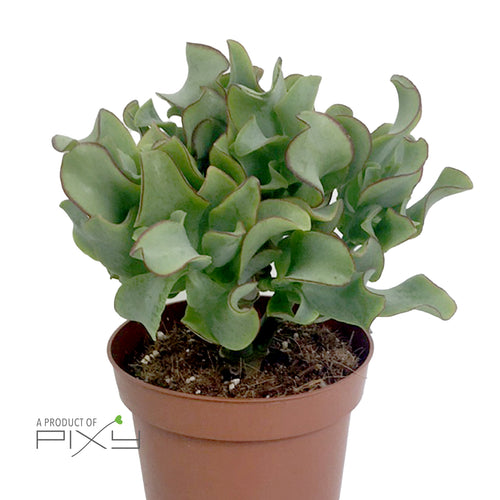 CRASSULA ARBORESCENS 'CURLY GREEN' 12 WOODS POT12 | H20CM