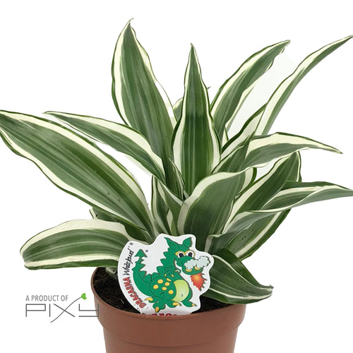 DRACAENA FRAG. 'WHITE JEWEL' POT12 | H25CM