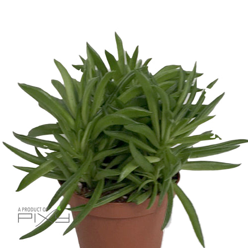PEPEROMIA FEREIRAE 'HAPPY-BEAN' POT510 | H15CM