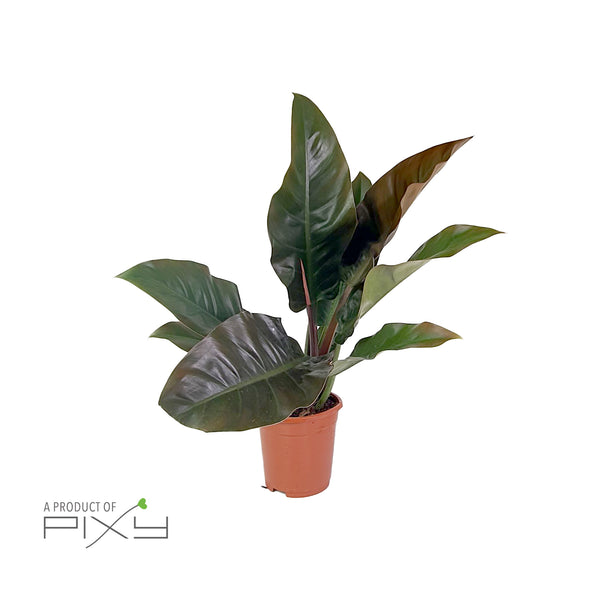 PHILODENDRON 'IMPERIAL RED' CLOCK BUY POT17 | H70CM