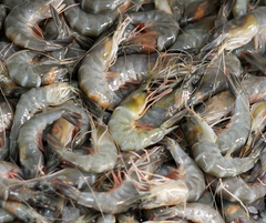 Wild Caught Large Gulf Shrimp