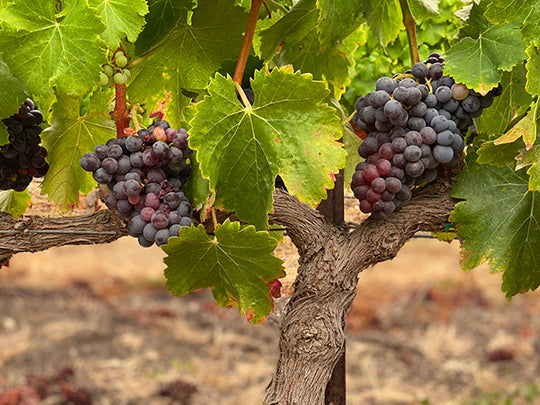 Ripening Grenache grape clusters at Bee Sweet Vineyard