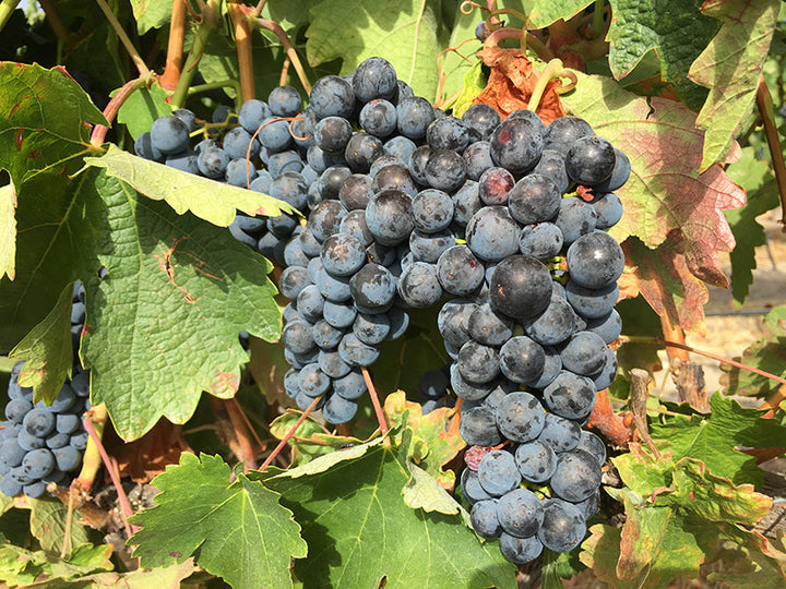 Tempranillo grape clusters