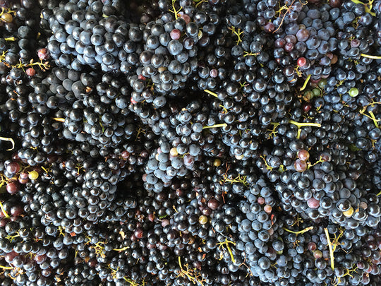 Harvested Tempranillo Clusters