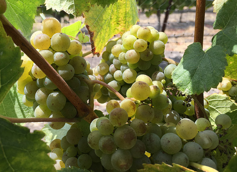 Albariño grape clusters