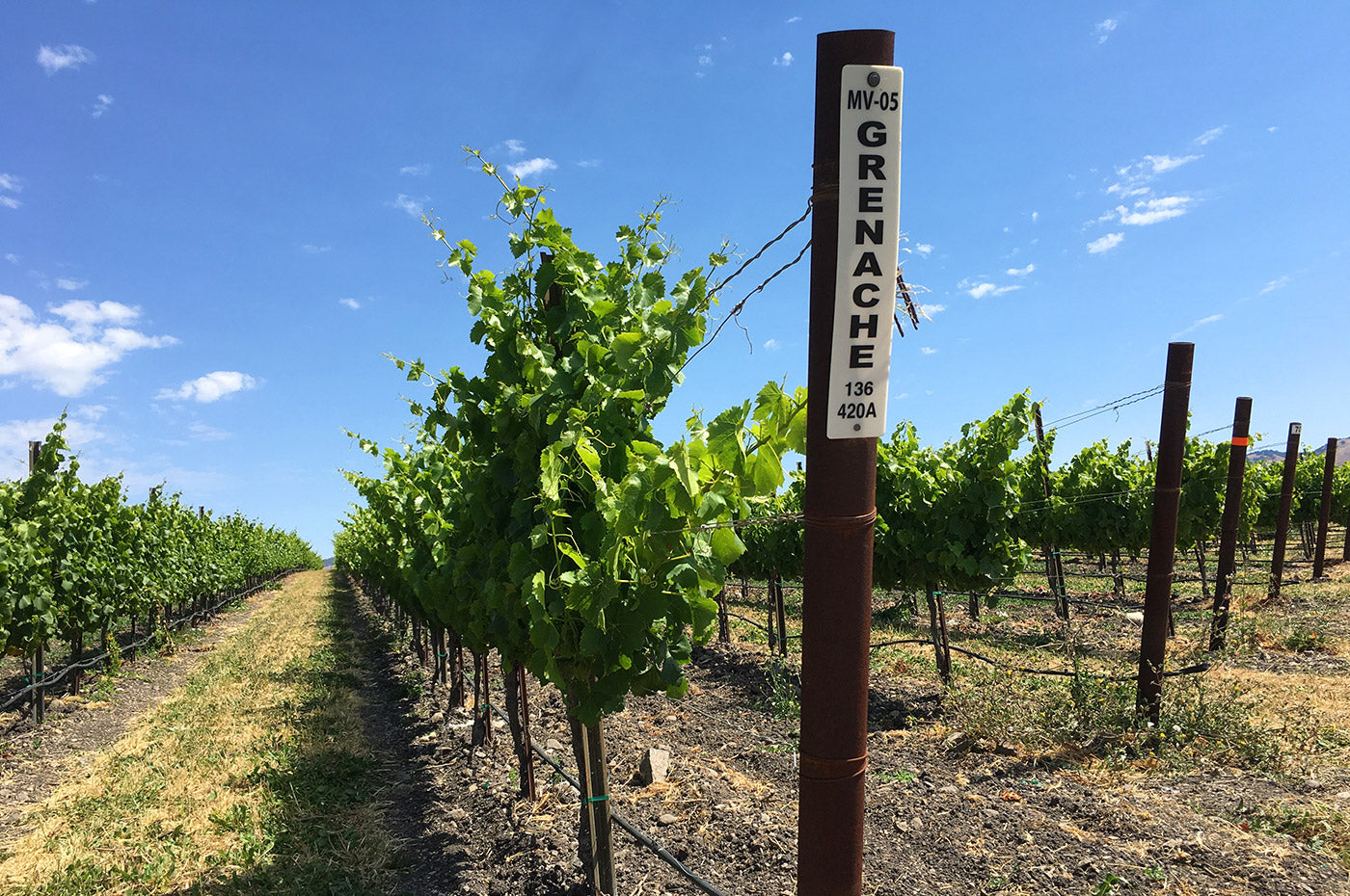 Grenache rows at Bee Sweet Vineyard